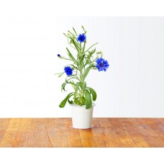 Cornflower refill (3 pack)