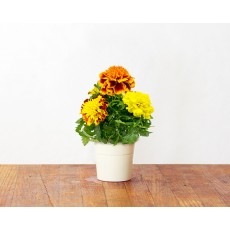 French Marigold (3 pack)