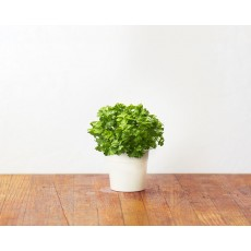Parsley refill (3 pack)