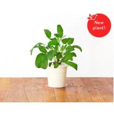 Ricarica Salvia (confezione da 3)