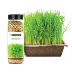 Sweet Wheatgrass Seeds (799g)