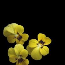 Viola cornuta Amarelo