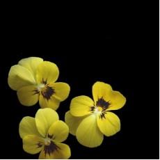Hornveilchen Gelb