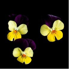 Фиалка рогатая Жёлтый & Пурпурный
