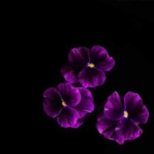 Viola cornuta Púrpura