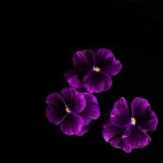 Фиалка рогатая Пурпурный