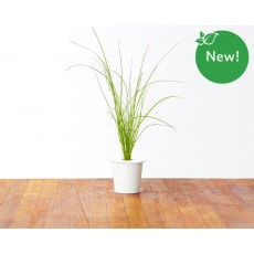 Chives refill (3 pack)